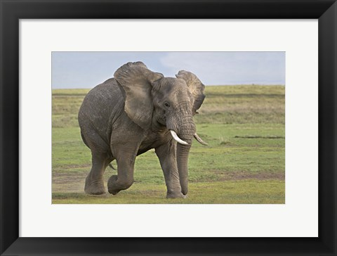 Framed African elephant (Loxodonta Africana) running in a field, Ngorongoro Crater, Arusha Region, Tanzania Print
