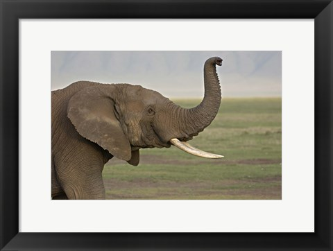 Framed Close-up of an African elephant, Ngorongoro Crater, Arusha Region, Tanzania (Loxodonta Africana) Print