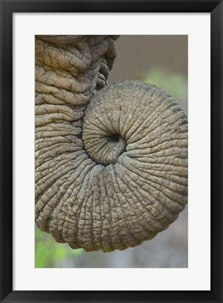 Framed Close-up of an African elephant's trunk, Ngorongoro Crater, Arusha Region, Tanzania (Loxodonta Africana) Print
