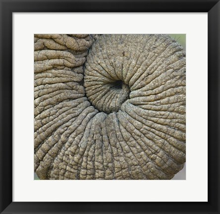 Framed Close-up of an Elephant trunk, Ngorongoro Conservation Area, Arusha Region, Tanzania Print