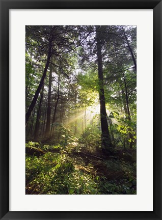 Framed Sunbeams in dense forest, Great Smoky Mountains National Park, Tennessee, USA. Print