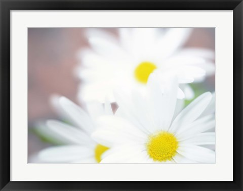 Framed Close up of daisies with purple background Print