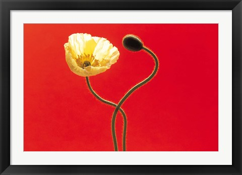 Framed Close up cream poppy and seed pod on red background Print