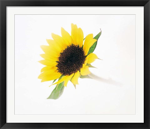 Framed Close up of sunflower Print