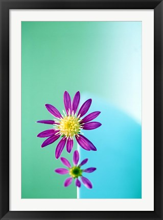 Framed Close up of purple flowers with yellow centers on turquoise background Print