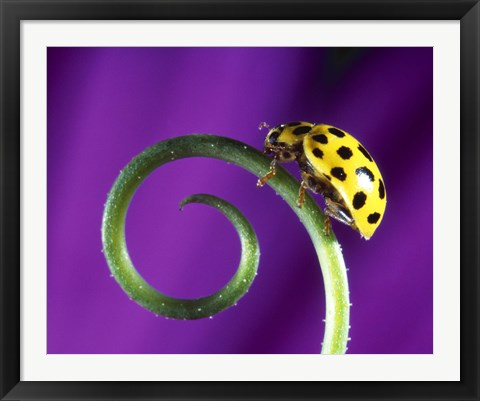 Framed Side view close up of yellow ladybug sitting on a green curlicue shaped leaf Print