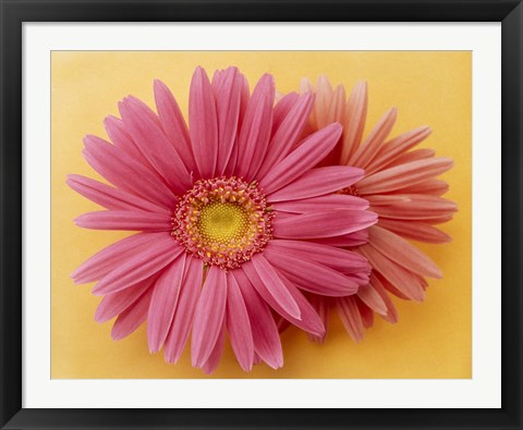 Framed Close up of two pink zinnias on yellow gold background Print