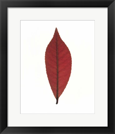 Framed Close up of red leaf on white Print