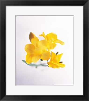 Framed Close up of deep yellow flowers on blue and white Print