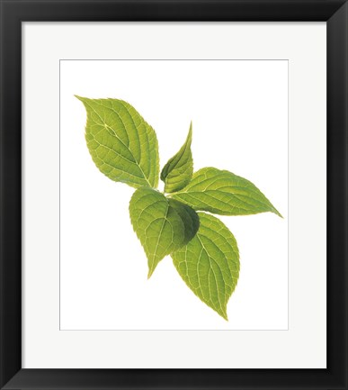 Framed Close up of green leaves on pale green and white Print