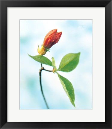 Framed Close up of dark pink flower bud on green stem with green leaves on watercolor blue Print