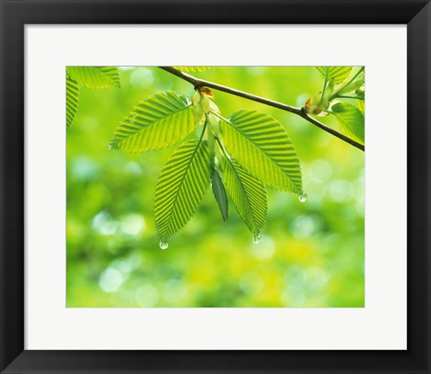 Framed Selective focus striped leaves on branch with forest in back Print