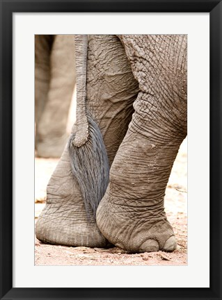 Framed Close-up of legs and tail of an African elephant (Loxodonta africana), Lake Manyara, Tanzania Print