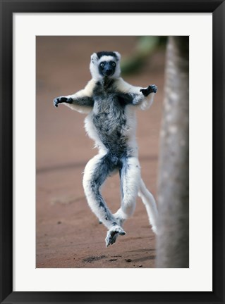 Framed Close up of Verreaux's sifaka Monkey dancing in a field, Berenty, Madagascar Print