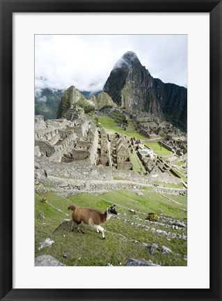 Framed High angle view of Llama (Lama glama) with Incan ruins in the background, Machu Picchu, Peru Print