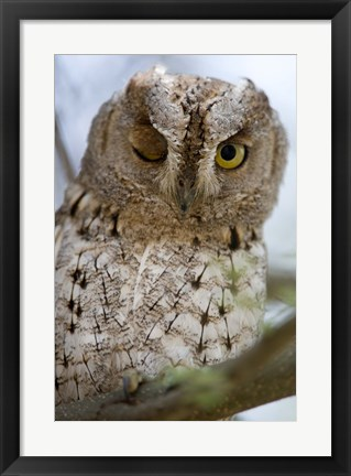 Framed African Scops owl (Otus senegalensis) winking on a branch, Tarangire National Park, Tanzania Print
