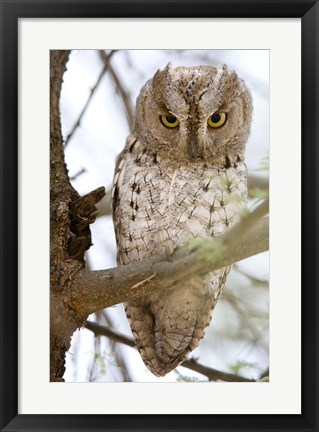 Framed African Scops Owl (Otus senegalensis) Perching on a Branch, Tarangire National Park, Tanzania Print