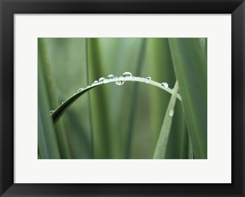 Framed Close up of Dew drops on a Blade of Grass Print