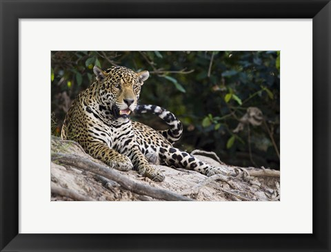 Framed Jaguar (Panthera onca) snarling, Three Brothers River, Meeting of the Waters State Park, Pantanal Wetlands, Brazil Print