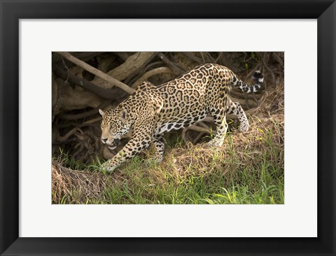 Framed Jaguar (Panthera onca) foraging in a forest, Three Brothers River, Meeting of the Waters State Park, Pantanal Wetlands, Brazil Print