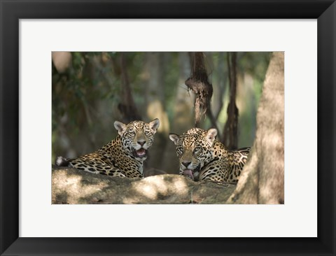 Framed Jaguars (Panthera onca) resting in a forest, Three Brothers River, Meeting of the Waters State Park, Pantanal Wetlands, Brazil Print