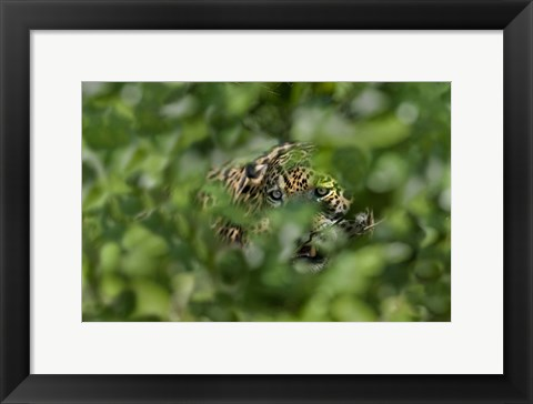 Framed Jaguar (Panthera onca) behind leaves, Three Brothers River, Meeting of the Waters State Park, Pantanal Wetlands, Brazil Print