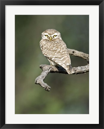 Framed Close-up of a Spotted owlet (Strix occidentalis) perching on a tree, Keoladeo National Park, Rajasthan, India Print