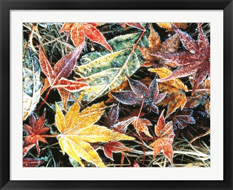 Framed Close Up Fallen Maple Leaves Print