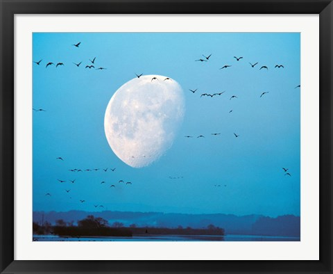 Framed Migrating Birds in Blue Sky with Half Moon Print