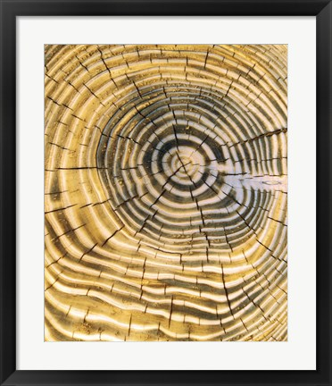 Framed Age Rings of Tree Trunk Print