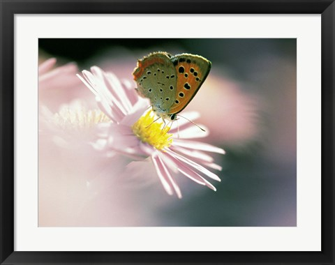 Framed Close Up Of Butterfly on Flower on Purple Lavender Print