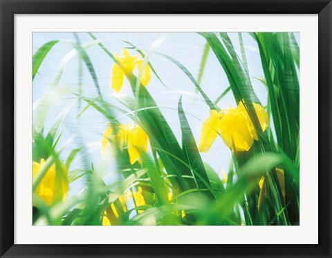 Framed Yellow flowers with grass an sky Print