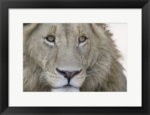 Framed Close-up of a male lion (Panthera leo), Tanzania Print