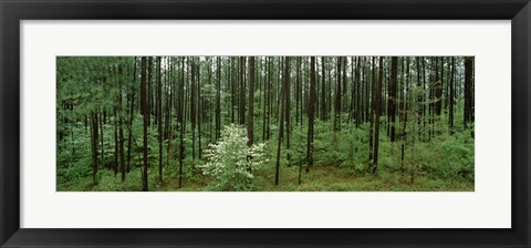 Framed Flowering Dogwood (Cornus florida) trees in a forest, Alabama, USA Print