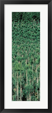 Framed Kitayama Cedar trees Kyoto Japan Print