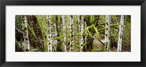 Framed Mossy Birch trees in a forest, Lake Crescent, Olympic Peninsula, Washington State, USA Print