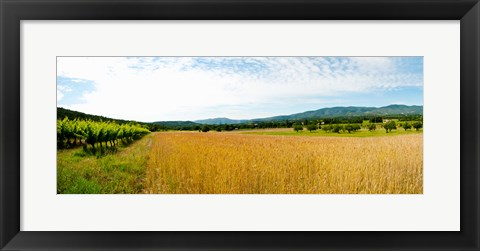 Framed Wheat field with vineyard along D135, Vaugines, Vaucluse, Provence-Alpes-Cote d'Azur, France Print