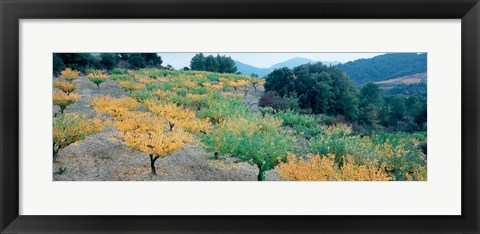 Framed Cherry trees in an orchard, Provence-Alpes-Cote d'Azur, France Print