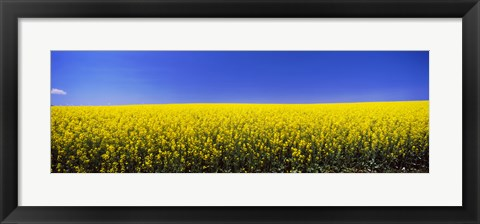 Framed Canola field in bloom, Idaho Print