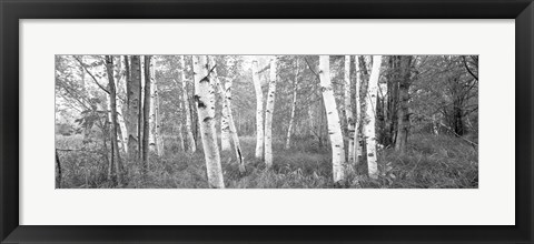 Framed Birch trees in a forest, Acadia National Park, Hancock County, Maine (black and white) Print
