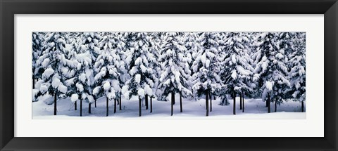 Framed Snow covered Cedar trees Kyoto Hanase Japan Print