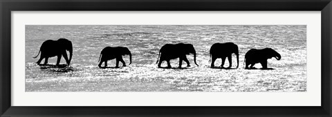 Framed Herd of African Elephants Crossing the Uaso Nyiro River, Kenya (black & white) Print