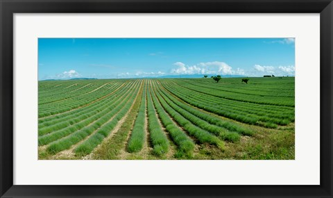 Framed Lavender field just days prior to flowers emerging, Plateau de Valensole, Provence-Alpes-Cote d'Azur, France Print