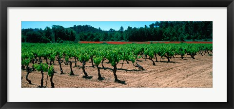 Framed Vineyards and red poppies in summer morning light, Provence-Alpes-Cote d'Azur, France Print