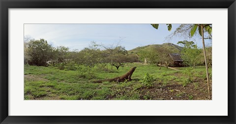 Framed Komodo Dragon (Varanus komodoensis) in a field, Rinca Island, Indonesia Print
