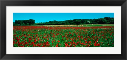 Framed Poppies and sheep in a field, Provence-Alpes-Cote d'Azur, France Print