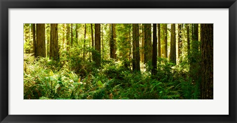 Framed Ferns and Redwood trees in a forest, Redwood National Park, California, USA Print
