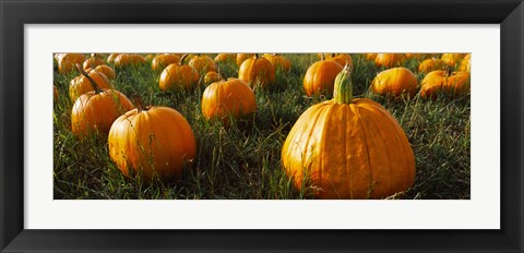 Framed Close Up of Pumpkins in a  Field, Half Moon Bay, California Print