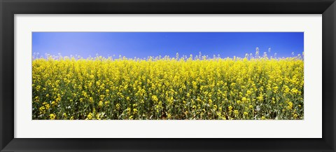 Framed Close up of Canola in bloom, Idaho Print