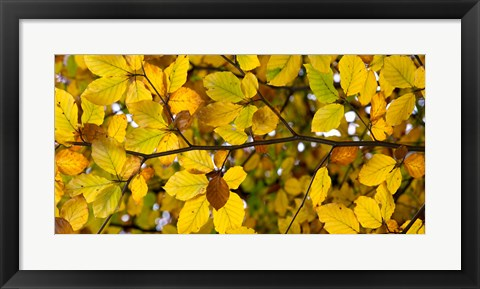 Framed Detail of autumn leaves, Baden-Wurttemberg, Germany Print